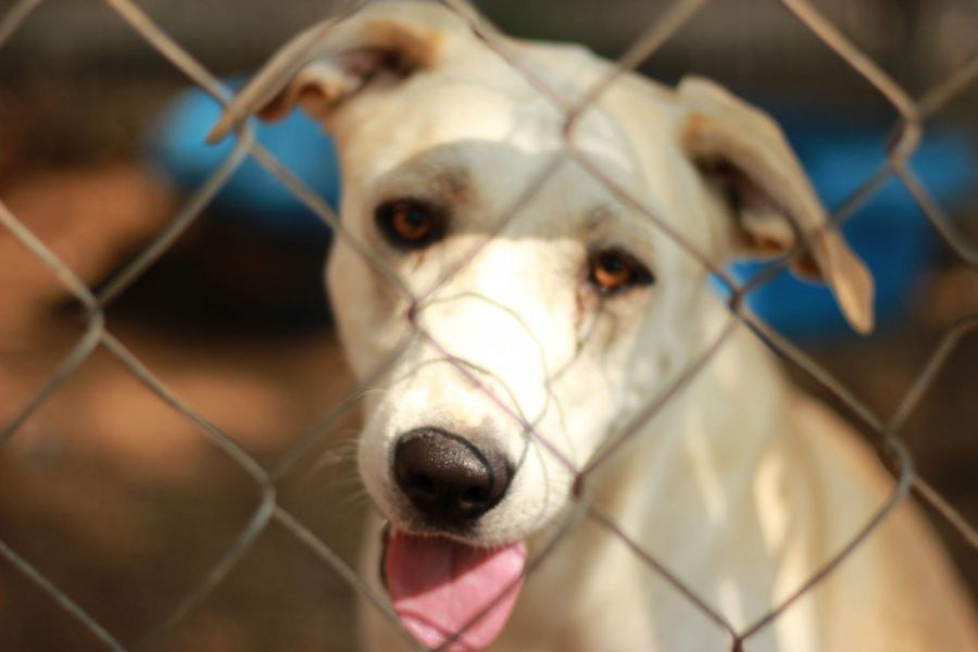 Ivory is a 2-year-old female cream mix and has lots of energy. A dog friendly classification has been given to her. Ivory was brought into the humane society as a stray on August 8, 2019 and  is available for adoption. It isn't known if she is spayed or not.